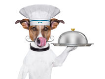 Dog cook chef. Cook dog holding a serving tray with cover Royalty Free Stock Image
