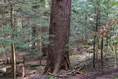 Cook Forest State Park Pennsylvania. One of the largest old growth forest in the Eastern United States Royalty Free Stock Image