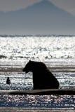 阿拉斯加布朗北美灰熊剪影Cook Inlet湖克拉克 免版税图库摄影