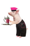 Cook pig. On a white background. studio Royalty Free Stock Photography
