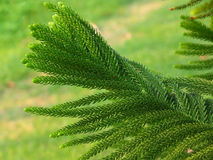 Cook Pine Tree Leaves in the Afternoon Sunlight Royalty Free Stock Photography