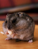Cooke the hamster Stock Image