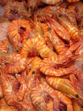 Cooked Australian Tiger Prawns. On Ice Stock Image