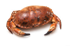 Cooked brown crab Stock Photos