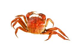 Cooked Chinese hairy crab isolated on white stock image