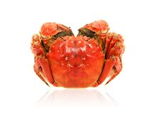 Cooked Chinese hairy crab isolated on white royalty free stock images
