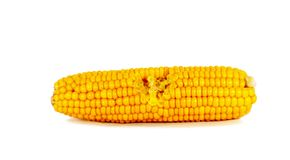 Cooked corn cob Stock Images