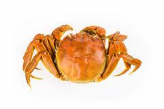 Cooked crab closeup Royalty Free Stock Photography