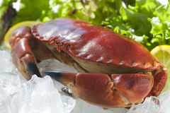 Cooked Crab on Ice Stock Photography