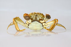 Cooked crab on white background Stock Image