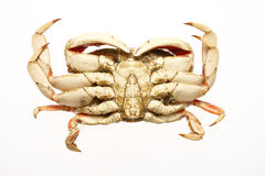 Cooked dungeness crab Royalty Free Stock Photo