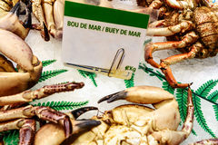 Cooked edible crabs (buey de mar) Stock Image