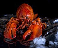 Cooked lobster on a bed of mussels and ice Stock Photography