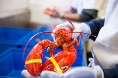 Cooked Lobster. Male hands holding the cooked lobster royalty free stock images