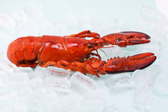 Cooked red lobster in ice cubes Stock Photography