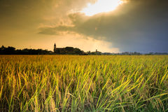 Cooked rice fields Stock Photo