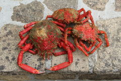 Cooked spider crabs on pavement Royalty Free Stock Photos
