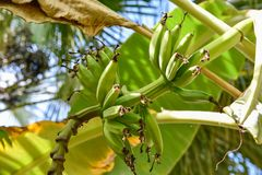 Cooking banana, Rulo, This fruit is like a green Platano but more smaller. Shot in Santo Domingo, Dominican Republic stock image