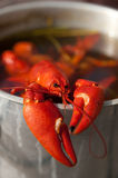 Cooking crayfish. A red crayfish in a cooking bowl Stock Images