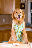 Cooking dog royalty free stock images