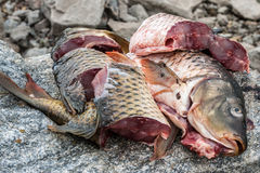 Cooking fish carp, preparation for , cutting the  into pieces Stock Images