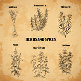 Cooking herbs and spices. Rosemary,saffron, mustard, mint, marjoram, melissa. Retro hand drawn vector illustration. Stock Photography