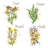 Cooking herbs and spices in watercolor style .Fennel, estragon, mustard, vanilla. Royalty Free Stock Photography