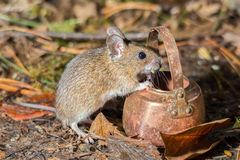 Cooking mouse Stock Photography
