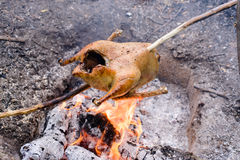 Cooking a whole chicken over a campfire Royalty Free Stock Images