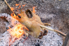 Cooking a whole chicken over a campfire Royalty Free Stock Image