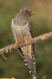 Cookoo  bird. Royalty Free Stock Image