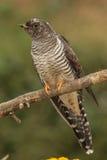 Cookoovogel royalty-vrije stock afbeeldingen