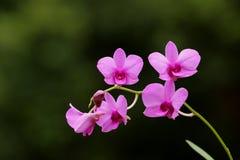 Cooktown orkidé Arkivbilder