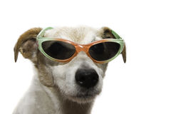 Cool. Looking dog with sunglasses Stock Photography