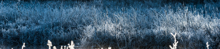 Cool Blue grass bushes. Morning dawn on ice and frost covered wetland foliage. Stock Photos