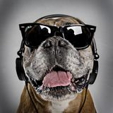 Cool boxer dog Royalty Free Stock Photo