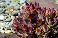 Cool brown sempervivum tectorum plant in summer sunshine Stock Photo