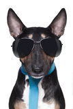 Cool Bull Terrier DOG Royalty Free Stock Photo