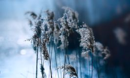 Cool colors of reeds Royalty Free Stock Images