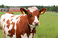 Cool Cow on Green Field Stock Images