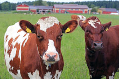 Cool Cows on Green Field Royalty Free Stock Photos