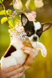 cute small Chihuahua dog puppy on hand . grass on background stock photos
