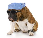 Cool dog. Dog wearing skull cap and cool sunglasses with reflection on white background Royalty Free Stock Photos