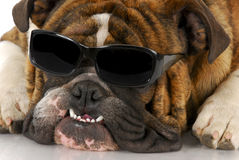 Cool dog. English bulldog wearing cool sunglasses on white background Royalty Free Stock Images