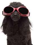 Cool Dog Royalty Free Stock Image