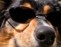 Cool Dog. Dog wearing sunglasses royalty free stock photography