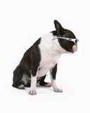 Cool dog royalty free stock photo