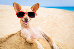 Cool dog at the beach. Cool chihuahua dog at the beach wearing sunglasses Stock Photo