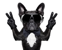 Cool dog Royalty Free Stock Photos