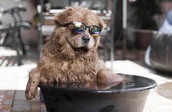 Cool Dog Stock Image